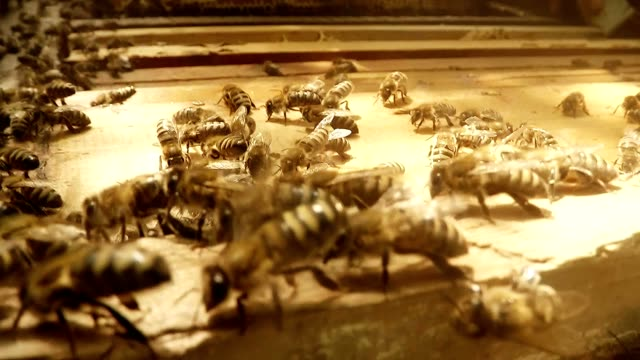 POV Bee Flies Under Frames For Honeycombs in Hive Close up video