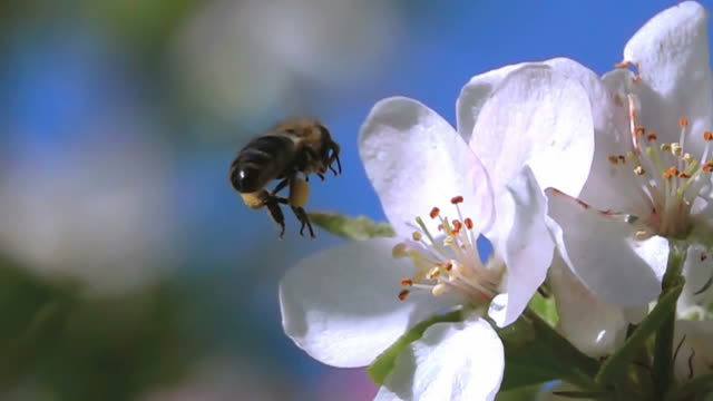 Bee fly video