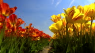 CLOSE UP: Bee flying above lovely red and yellow blossoming tulips on big field video