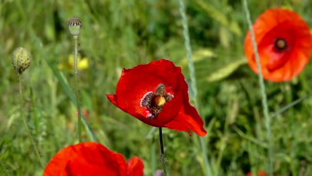 Bee Flying and Pollinating Poppy Flower. video