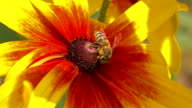 Bee flying away from yellow flower. Super slow motion macro video shot at 250 fps video