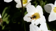 Bee Flying Collecting Pollen From Flowers video