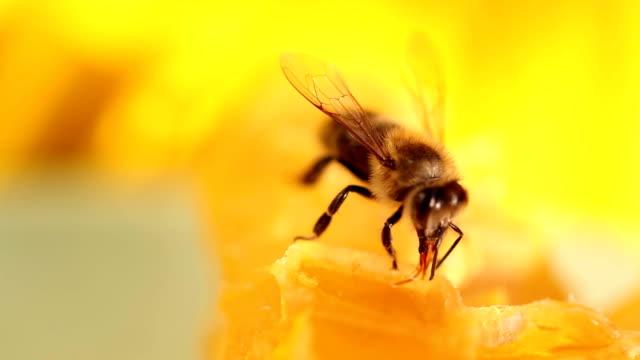 Bee gathering honey video
