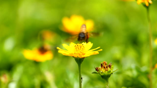 Bee in nature, slow motion. video