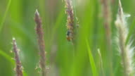 Bee is foraging, Grass swaying in the wind in the morning day video
