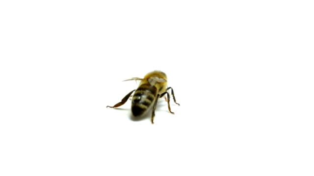 Bee Isolated On White video