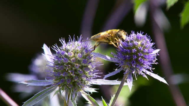 Bee landing on a flower to collect nectar and pollen. video
