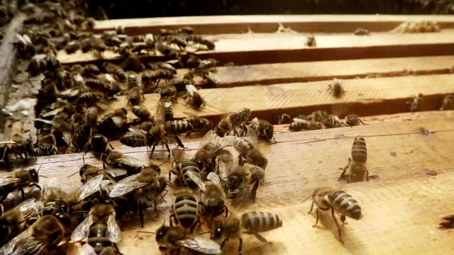 Bee Language Bees Flitter on Opened Hive And Frames For Honeycombs Close up video