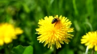 Bee on a dandelion video