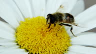 Bee On A Flower video