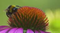 Bee on a Purple Coneflower (Macro) video
