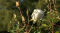Bee on a white rose video