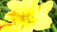 Bee on a yellow lily video