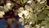 bee on blooming cherry video