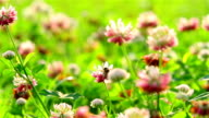 bee on clover flowers video