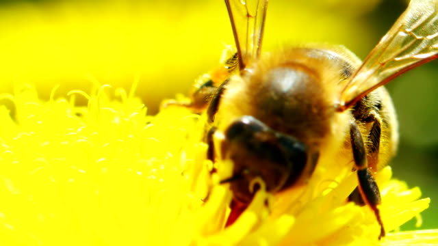 Bee on dandelion video