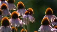 Bee on Echinacea flowers, slow motion video