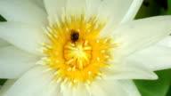 Bee on Lotus flower pollen video