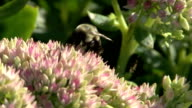 Bee on pink flowers video