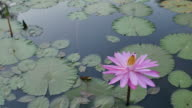 Bee on pink lotus in morning. video