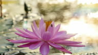 Bee on Pink Water Lily in morning. (Slow motion) video