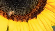 Bee on Sunflower video