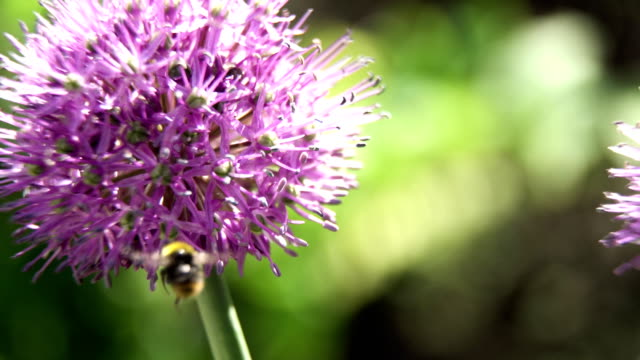 Bee on the flower,close up video