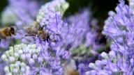 Bee on the purple flower video