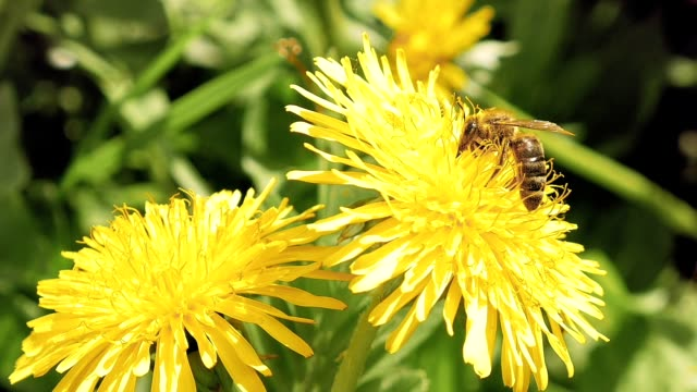 Bee on the yellow flower in the wild environment video
