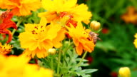 A bee on yellow cosmos flower video