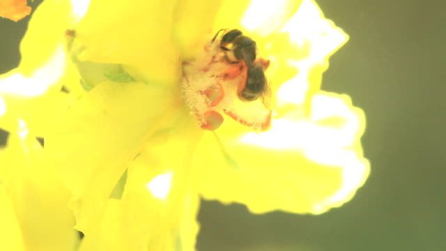Bee on Yellow Flower Part II video