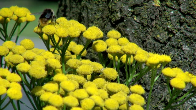 bee on yellow flowers in holland video
