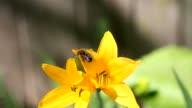 Bee on Yellow Star-of-Bethlehem (Gágea lútea). video