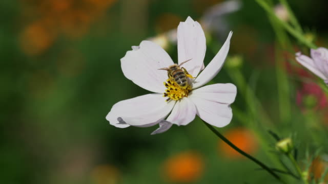 Bee Picking pollen on the flowers video