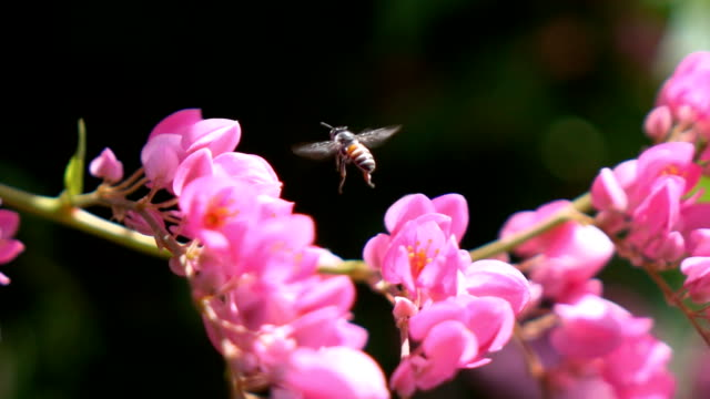 Bee pollinated of ยรืา flower,Slow motion video