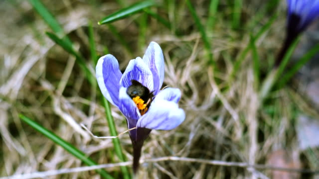 Bee pollinates the first spring crocus flower video