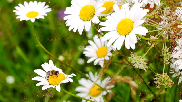 Bee Pollinating Chamomile. video