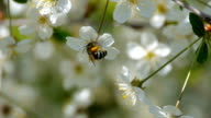 bee pollinating flowering trees spring flowers slow motion nature summer beautiful flowers collect pollen honey bee swarm beautiful tree fruit garden green leaves white flowers apple cherry plum video