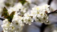 Bee Pollinating Flowers Of Cherry Tree video