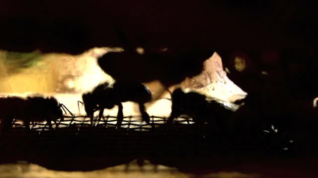 Bee Silhouttes (HD) video