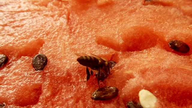 Bee Sit on Red Water-Melon and Drink Necar Macro video
