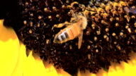 Bee Slow Motion video