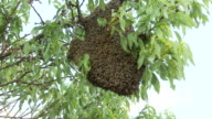 Bee Swarm on tree branch video