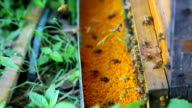 bee with water lily pollen powder video
