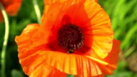 Bee working on a red poppy video