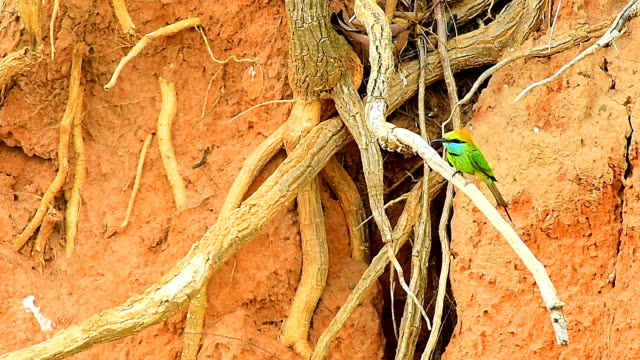 Bee-Eater on tree branch video