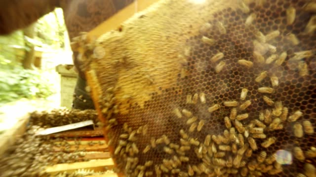 Beekeeper Examines Frame For Honeycombs From Both Sides Closely to Camera video