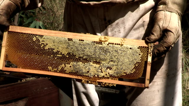 Beekeeper removing African honey bees from frame and showing honeycomb,South Africa video