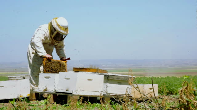 Beekeeper takes a frame with honeycomb from the hive video
