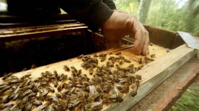 Beekeeper`s Hands Take Off Board From Frames For Honeycombs Mane Bees Close up video